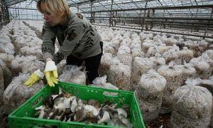 Выращивание грибов – вешенка
